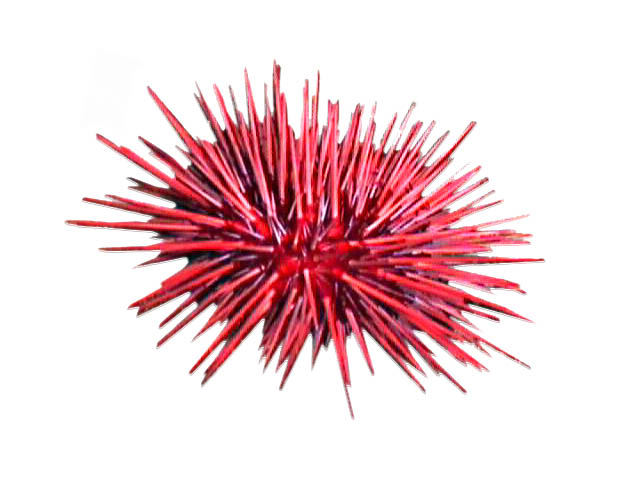 Red Urchin Management Areas Remaining Quota Report